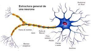 MORFOLOGÍA NEURONA